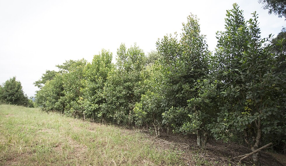 cultivo-e-plantação-da-erva-mate